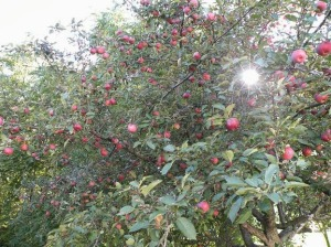 The apples in early October.